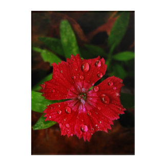 Red Dianthus With Raindrops Acrylic Wall Art