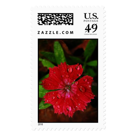 Red Dianthus With Raindrops – Large Postage