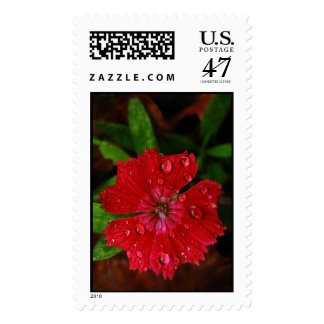 Red Dianthus With Raindrops – Large Postage Stamp