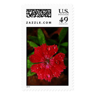 Red Dianthus With Raindrops – Large Stamp