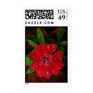 Red Dianthus With Raindrops – Medium Postage Stamps