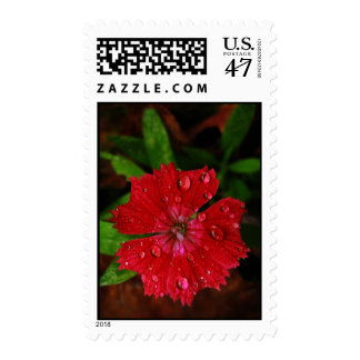 Red Dianthus With Raindrops – Medium Stamp