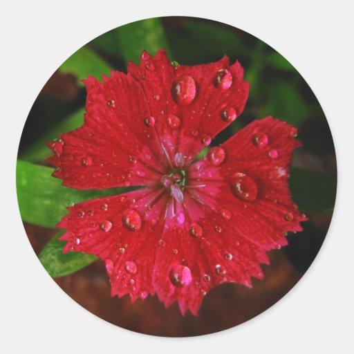 Red Dianthus With Raindrops Round Sticker