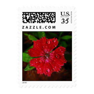 Red Dianthus With Raindrops – Small Postage Stamps