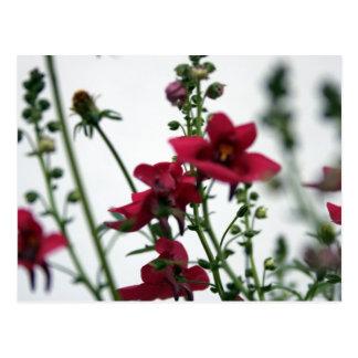 Red Diascia 1- Floral Photography Postcard