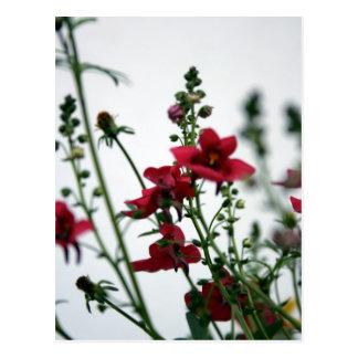 Red Diascia 2 - Floral Photography Postcard