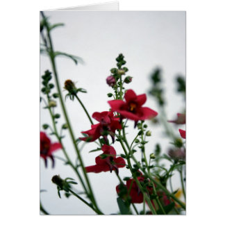 Red - Diascia - Floral Photography Card
