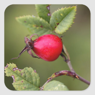 Red Dog Rose Fruit Square Sticker