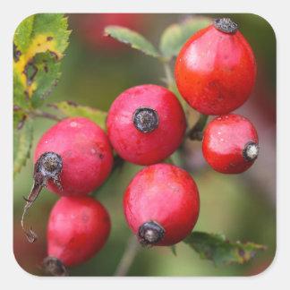 Red Dog Rose Fruits Square Sticker