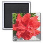 Red Double Hibiscus Flower 2 Inch Square Magnet