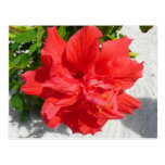 Red Double Hibiscus Flower Tropical Floral Postcard