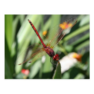 Red Dragonfly Post Card