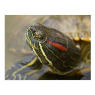 Red Eared Slider Turtle Postcard