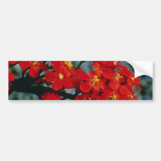 Red Euphorbia Fulgens Scarlet Plume flowers Bumper Sticker