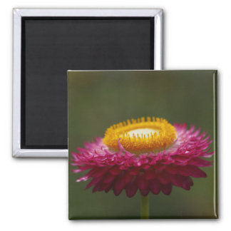 Red Everlasting Flower Refrigerator Magnets