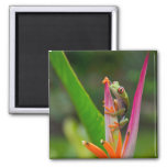 Red-eye tree frog, Costa Rica 2 2 Inch Square Magnet