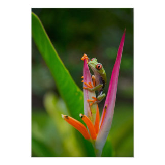 Red-eye tree frog, Costa Rica 2 Poster
