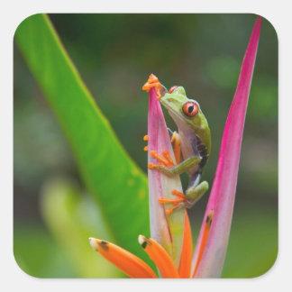 Red-eye tree frog, Costa Rica 2 Square Sticker