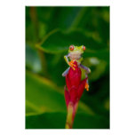 Red-eye tree frog, Costa Rica Poster