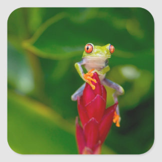Red-eye tree frog, Costa Rica Square Sticker