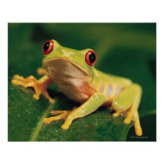 Red eye tree frog posters