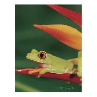 Red eye tree frog sitting on flower postcards