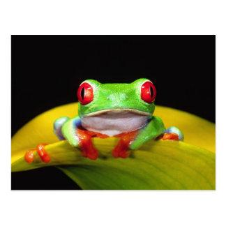 Red Eye Treefrog, Agalychinis callidryas, Native Postcard