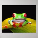 Red Eye Treefrog, Agalychinis callidryas, Native Poster