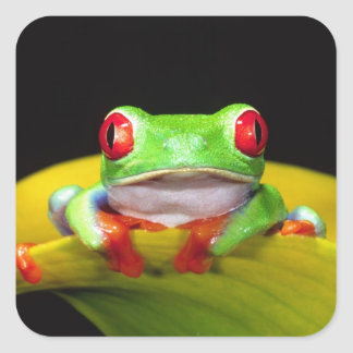 Red Eye Treefrog, Agalychinis callidryas, Native Square Sticker