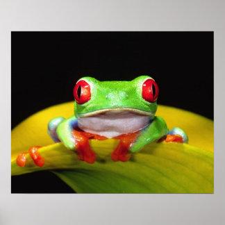 Red Eye Treefrog, callidryas de Agalychinis, nativ Póster