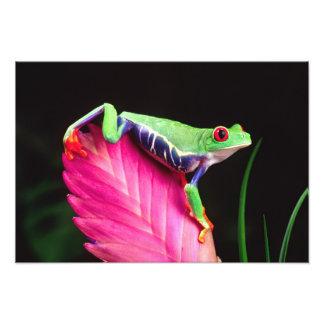 Red Eye Treefrog en Bromeliad, Agalychinis Fotografias