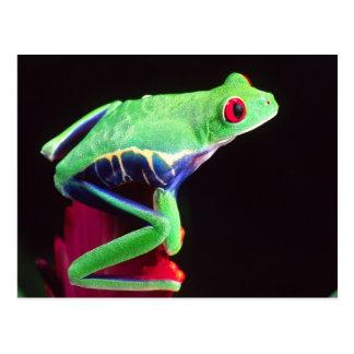 Red Eye Treefrog en un Bromeliad, Agalychinis Postales