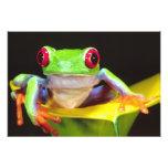Red Eye Treefrog en una cala, Agalychnis Fotografía