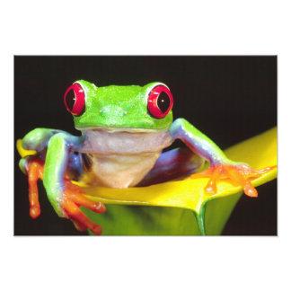 Red Eye Treefrog en una cala Agalychnis Fotografía