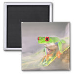 Red Eye Treefrog in the mist, Agalychinis 2 Inch Square Magnet