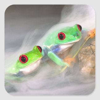 Red Eye Treefrog in the mist, Agalychinis 2 Square Sticker