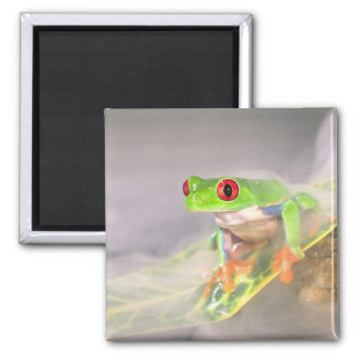 Red Eye Treefrog in the mist, Agalychinis Magnet