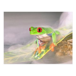 Red Eye Treefrog in the mist, Agalychinis Postcard