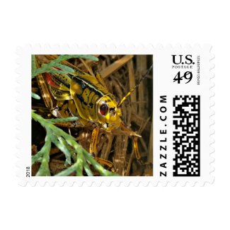 Red-eyed grasshopper - Eastern Lubber stamp