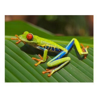 Red Eyed Green Tree Frog Postcard
