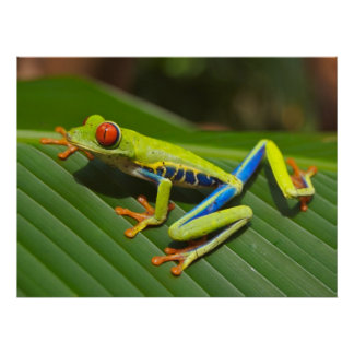 Red Eyed Green Tree Frog Poster