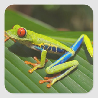 Red Eyed Green Tree Frog Square Sticker