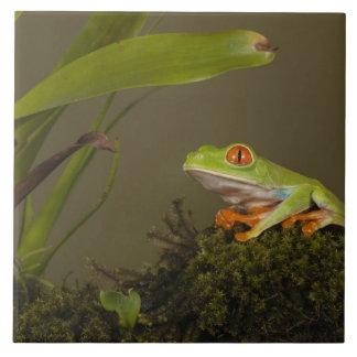 Red-eyed Leaf Frog, AKA Red-eyed Tree frog Ceramic Tile