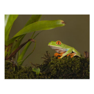 Red-eyed Leaf Frog, AKA Red-eyed Tree frog Postcard