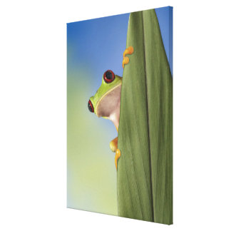 Red Eyed Tre Frog Peeking From Behind a Leaf Canvas Print