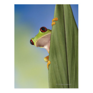 Red Eyed Tre Frog Peeking From Behind a Leaf Postcard