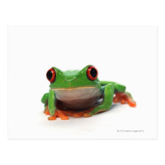 Red eyed tree frog 2 postcard