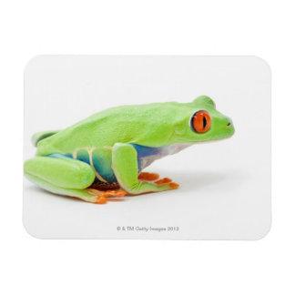 Red-Eyed Tree Frog (Agalychnis Callidryas) Magnet
