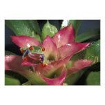 Red-eyed tree frog Agalychnis callidryas) Photo Print