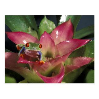 Red-eyed tree frog Agalychnis callidryas) Postcard